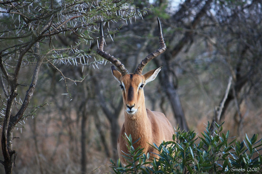 Antilope in the bush of Hluhluwe-Umfolozi. South Africa, July 2011